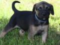 PuppyUpload10-300x196