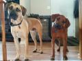 Dexter (Roxy x Stoeger) and Otis (Rebel x Stoeger